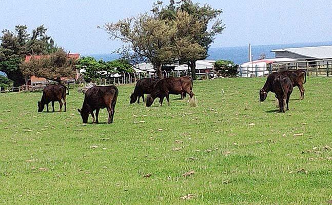 草を食べる牛たち
